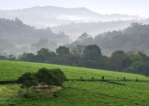 Bwindi Tea Plantations