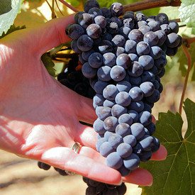 Grapes In Hand