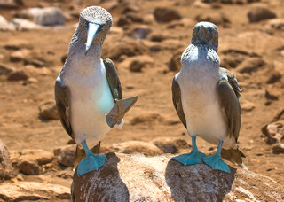 Blue-Footed Boobies on Galapagos Islands