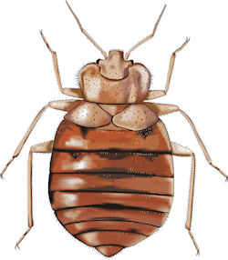 Common Bedbug on airline